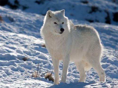 Những sự thật thú vị về động vật sống tại vùng Bắc cực - 10