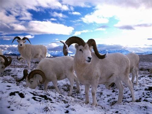 Những sự thật thú vị về động vật sống tại vùng Bắc cực - 11