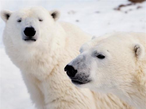 Những sự thật thú vị về động vật sống tại vùng Bắc cực - 2