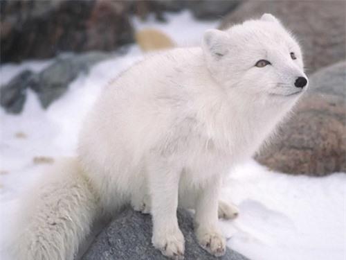 Những sự thật thú vị về động vật sống tại vùng Bắc cực - 7