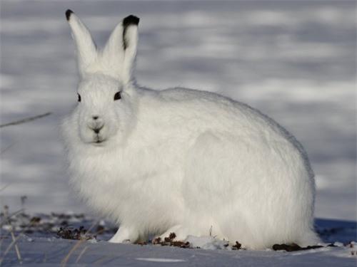 Những sự thật thú vị về động vật sống tại vùng Bắc cực - 8
