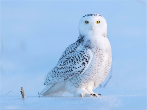 Cú tuyết không thể bị nhầm lẫn với những loài cú khác trên thế giới. Ảnh: Shutterstock.