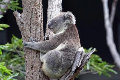 Gấu túi thường ôm thân cây khi thời tiết nắng nóng. Ảnh: Corbis