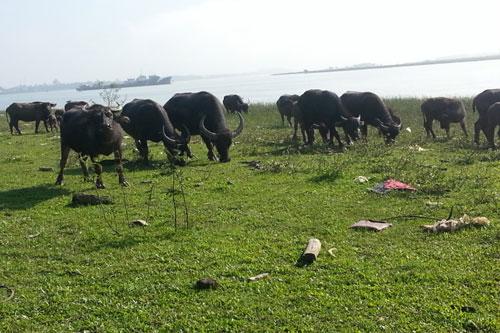 Đàn trâu của chị Lê Thị Châu được chăn thả ven sông Lam.