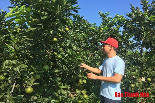 Mô hình của anh Dũng chủ yếu trồng các loại cây ăn quả như ổi, cam và bưởi.