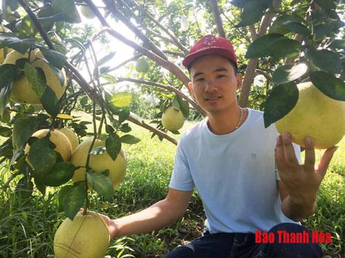 Anh Nguyễn Việt Dũng bên những cây bưởi Luận Văn, giống bưởi đỏ tiến vua nức tiếng xứ Thanh.