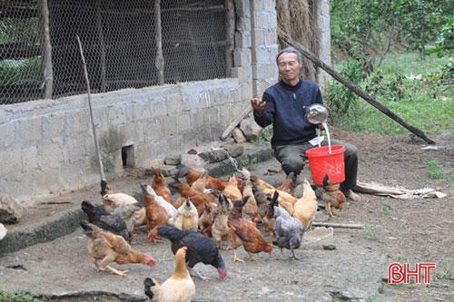"""Với phương châm """"lấy ngắn nuôi dài"""", đa cây, đa con để tăng thêm nguồn thu nhập, mỗi năm, ông Hiệp nuôi 3-4 lứa gia cầm, mỗi lứa trên 100 con gà, vịt."""