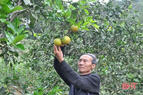 Khi cây keo nguyên liệu cho hiệu quả kinh tế không như mong đợi, ông Hiệp đã tiến hành trồng cây ăn quả có múi, cây lấy củ gắn với chăn nuôi và đã đạt được những thành công lớn