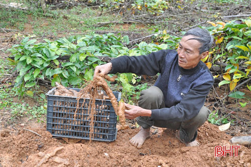 Những gốc khoai mài được thu hoạch sau 1 năm xuống giống và chăm sóc đã mang về cho gia đình ông Hiệp nguồn thu gần 900 triệu đồng (năm 2019)