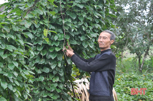 Để loài cây hoang dại có thể sản xuất theo hướng tập trung, mang về nguồn thu hàng trăm triệu đồng/ha thì ông Hiệp phải mất 10 năm gắn bó, tìm hiểu, đúc rút kinh nghiệm.