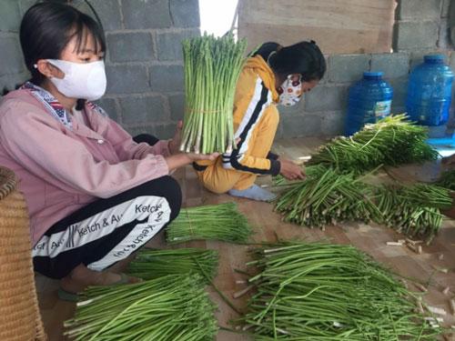 Sản phẩm măng tây xanh của gia đình anh Hoàn được Cty bao tiêu toàn bộ. Ảnh: KS.