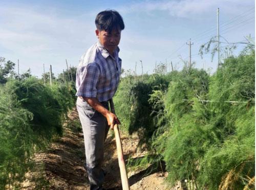 Anh Vũ Mạnh Hoàn đã chuyển đổi 8 sào đất lúa sang trồng măng tây xanh. Ảnh: KS.