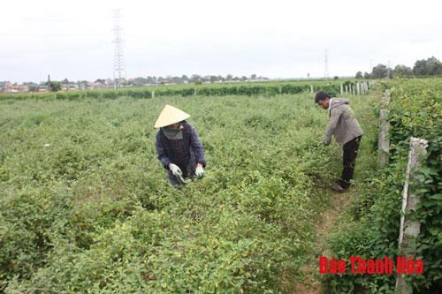 Mô hình trồng cây dược liệu của vợ chồng chị Lê Thị Nước, xã Đông Hoàng cho thu nhập khá, ổn định.