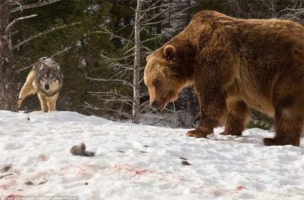Và đứng nhìn kẻ thù tận hưởng thành quả chuyến đi săn của mình từ phía xa