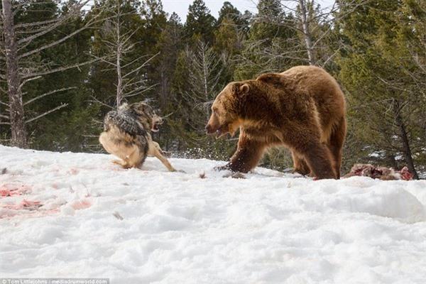 Cuộc chiến đẫm máu giữa gấu xám và đàn sói để tranh giành bữa ăn - 3