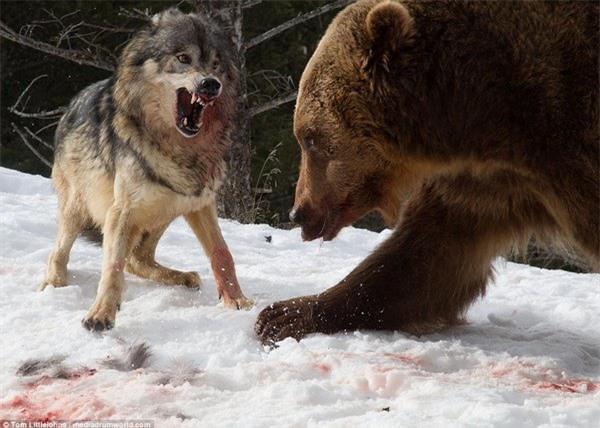 Đàn sói vây quanh và tìm cách đe dọa gấu
