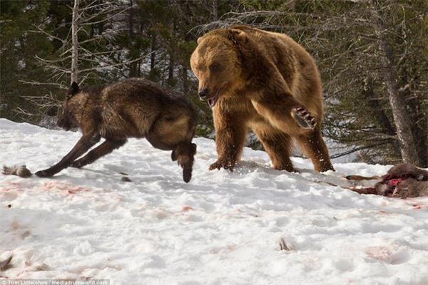 Cuộc chiến đẫm máu giữa gấu xám và đàn sói để tranh giành bữa ăn - 5