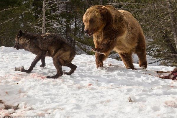 Tuy nhiên gấu lại cho thấy sự vượt trội về thể hình và sức mạnh