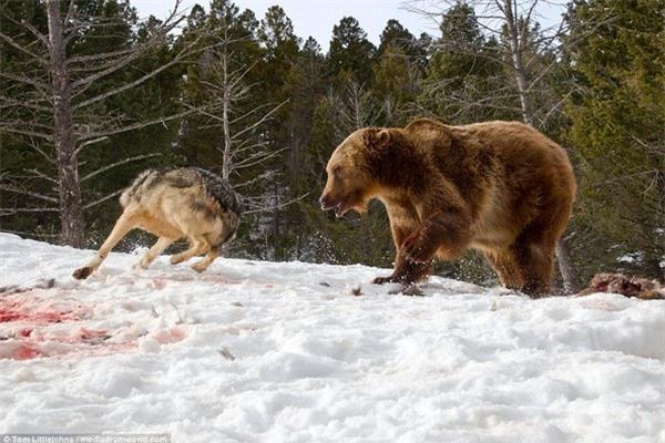 Cuộc chiến đẫm máu giữa gấu xám và đàn sói để tranh giành bữa ăn - 7