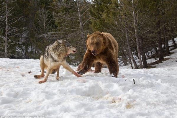 Đàn sói đành chấp nhận rút lui