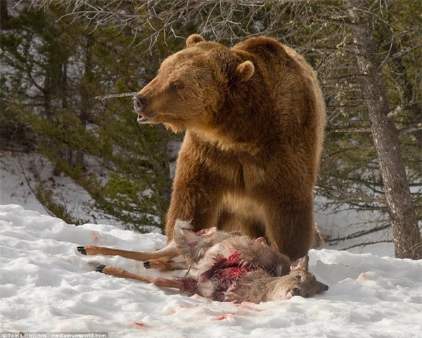 Cuộc chiến đẫm máu giữa gấu xám và đàn sói để tranh giành bữa ăn - 9