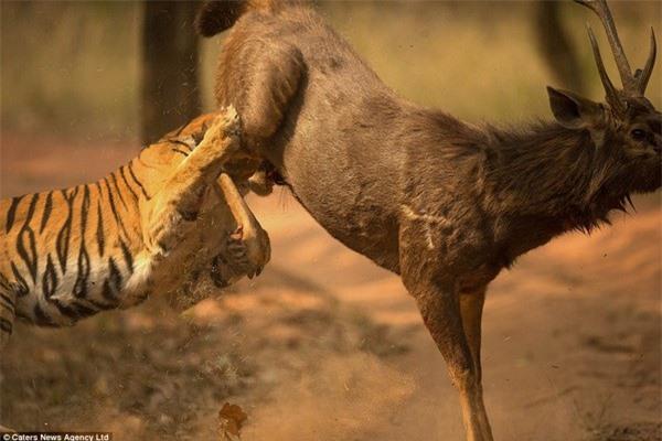 Hổ bị nai đá vào mặt trước khi để cho con mồi chạy thoát vào rừng