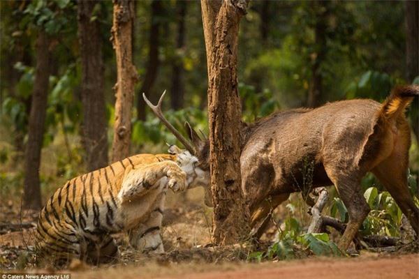 Khoảnh khắc nai chiến đấu ngoan cường để thoát khỏi móng vuốt của hổ - 5