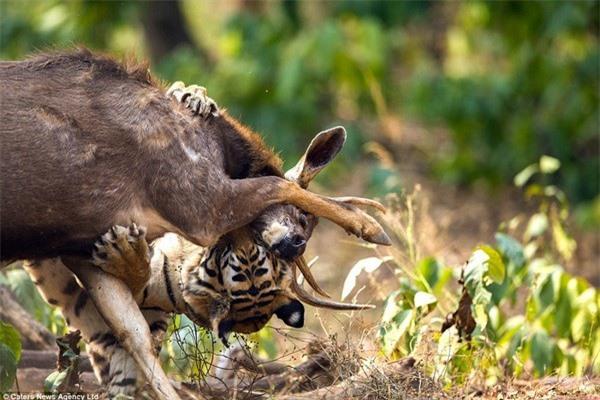 Khoảnh khắc nai chiến đấu ngoan cường để thoát khỏi móng vuốt của hổ - 7