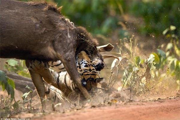 Khoảnh khắc nai chiến đấu ngoan cường để thoát khỏi móng vuốt của hổ - 8