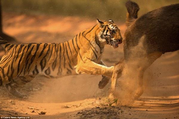 Hổ đuổi theo con nai trước khi vồ con mồi