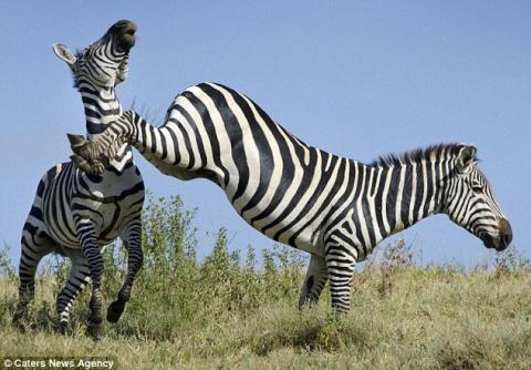 Trong khi cùng bố chụp ảnh động vật hoang dã tại khu bảo tồn Ngorongoro Crater (Tanzania), cậu bé người Mỹ 16 tuổi Joe Sulik đã bất ngờ được chứng kiến cuộc chiến giữa 2 con ngựa vằn đực trong cùng một đàn.
