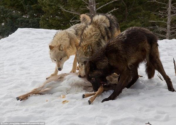Đàn sói đang thưởng thức bữa ăn sau chuyến đi săn