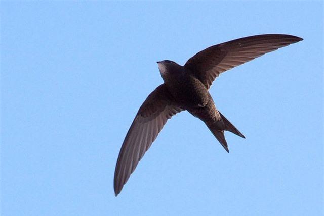 """Loài chim """"độc nhất vô nhị"""" có thể bay 10 tháng không cần hạ cánh - 1"""