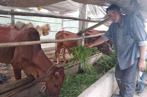 Anh Phan Long Giang nuôi bòđể tăng thu nhập