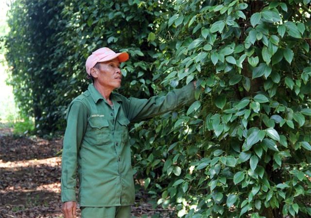 """Phú Yên: """"Vàng đen"""" lao dốc, người trồng lao đao - 1"""