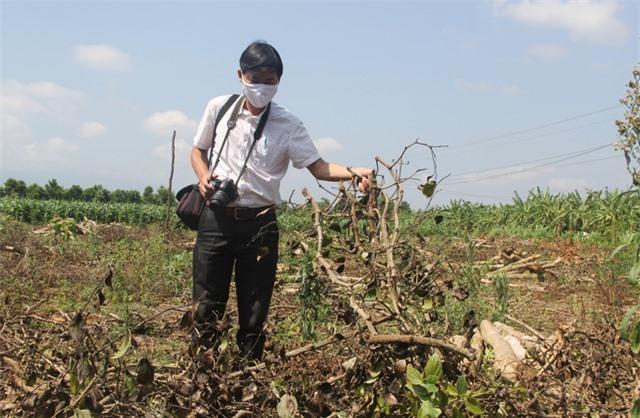 """Phú Yên: """"Vàng đen"""" lao dốc, người trồng lao đao - 2"""