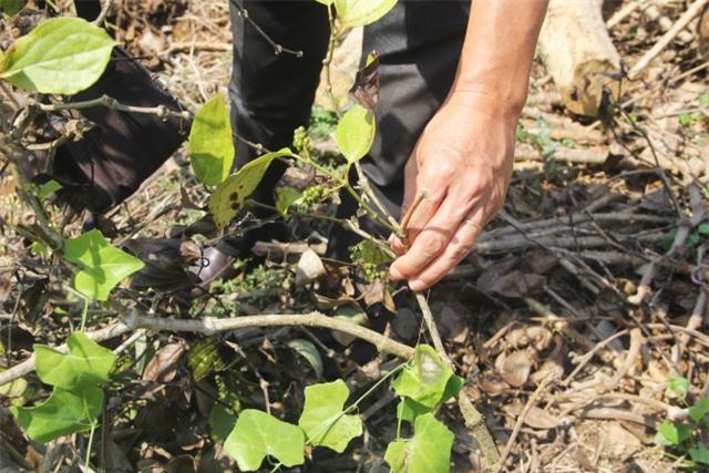 """Phú Yên: """"Vàng đen"""" lao dốc, người trồng lao đao - 3"""
