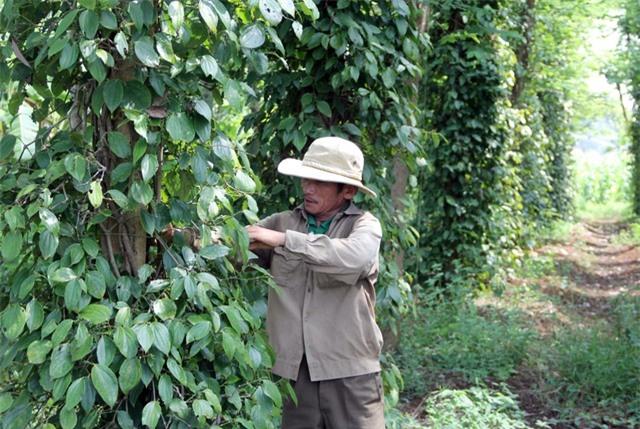 """Phú Yên: """"Vàng đen"""" lao dốc, người trồng lao đao - 4"""