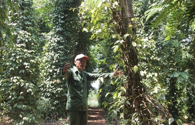 """Phú Yên: """"Vàng đen"""" lao dốc, người trồng lao đao - 6"""