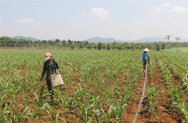 """Phú Yên: """"Vàng đen"""" lao dốc, người trồng lao đao - 7"""