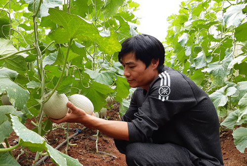 Thạc sĩ bỏ về quê trồng dưa lưới thu hàng trăm triệu đồng mỗi năm