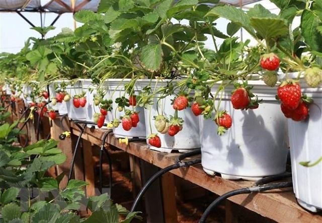 Ngoài bán quả tươi, HTX Tân Thảo còn bán chậu dâu tây cảnh và cây giống (Ảnh: TL)