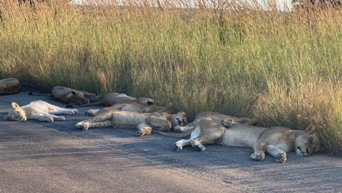Đàn sư tử rủ nhau nằm ra giữa đường ngủ bên trong công viên quốc gia vì vắng khách du lịch.