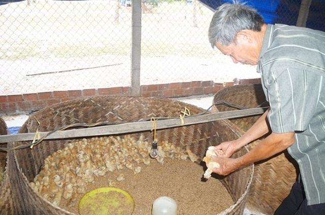 Ông Bùi Việt Tín - Giám đốc HTX Mười Tín đang chăm sóc gà ở trang trại gà Mười Tín (Ảnh: TL)