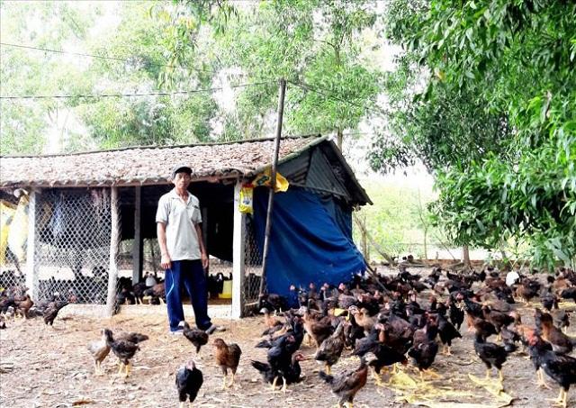 Thu nhập cao nhờ nuôi gà ta thương phẩm khép kín theo quy trình VietGAP (Ảnh: TL)