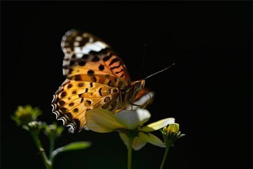 Ảnh động vật: Bướm đốm Ấn Độ hút phấn hoa - 11