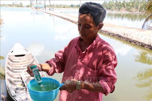 Độ mặn tăng cao ảnh hưởng đến người nuôi tôm . Ảnh: Huỳnh Phúc Hậu - TTXVN