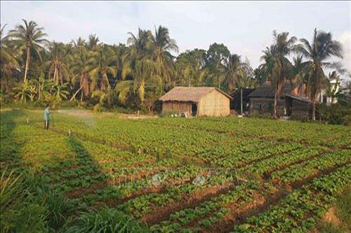 Diện tích trồng rau xà lách của gia đình ông Nguyễn Văn Chờ tại xã Hưng Mỹ, huyện Châu Thành. Ảnh: Thanh Hòa – TTXVN
