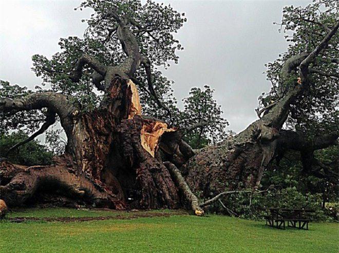 Bí mật tuyệt vời cất giấu bên trong cây đại thụ 6.000 năm tuổi - Ảnh 10.