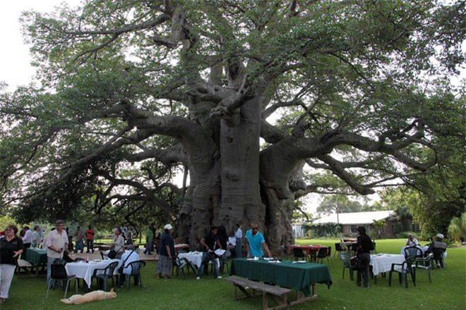 Bí mật tuyệt vời cất giấu bên trong cây đại thụ 6.000 năm tuổi - Ảnh 2.